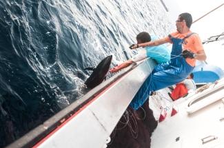 Subida del atún, tras un rato de faena
